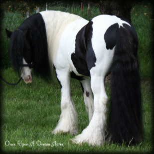Geordi Gypsy Vanner Cob Stallion Once Upon A Dream Acres